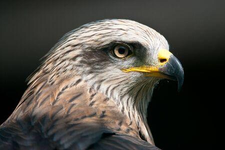 milvus: Portrait of a Black Kite (lat. Milvus migrans)