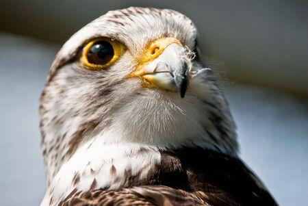 Portrait of a Booted Eagle (lat. Aquila pennata or Hieraaetus pennatus) Stock Photo