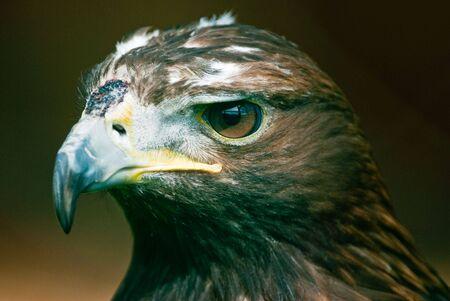 chrysaetos: Retrato de un �guila real (Aquila chrysaetos lat.). Atenci�n se centra en los ojos. Foto de archivo
