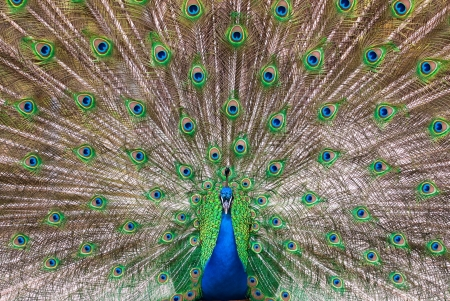 pavo cristatus: central view of a male Indian Peafowls (lat. Pavo cristatus) plumage