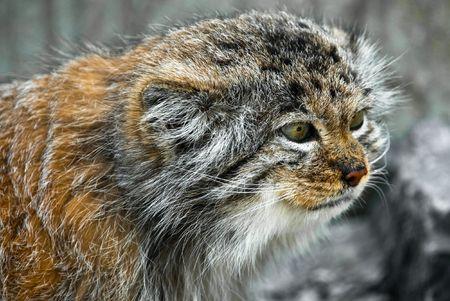 Retrato de un gato Pallas (Felis manul lat.)
