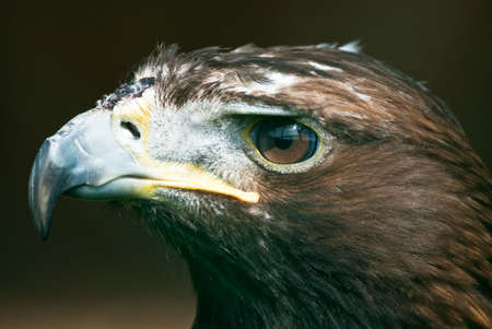 Portrait of a Golden Eagle (lat. Aquila chrysaetos). Focus is on the eyes. photo