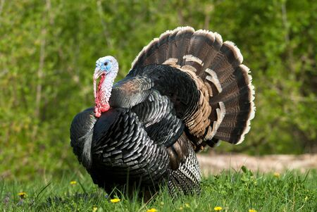 wild turkey standing in green meadow Standard-Bild
