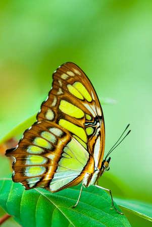 chrysope: lacewing papillon rouge (lat. Cethosia Biblis) reposant sur une feuille