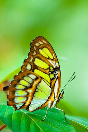 red lacewing butterfly (lat. Cethosia biblis) resting on a leaf Stock Photo - 4781583