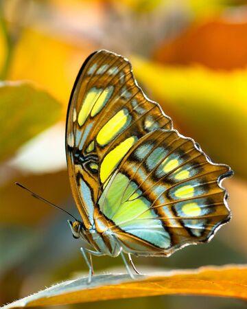 Malachite motyl (łac. Siproeta stelenes)