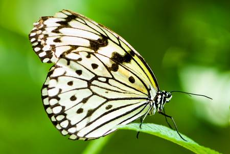 white tree nymph butterfly (lat. idea leuconoe) with green out of focus background Stock Photo - 4781582