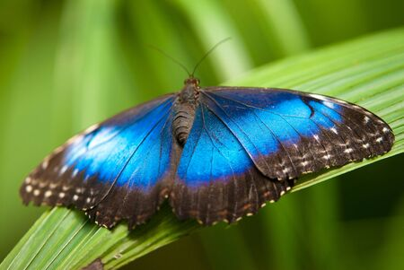 blue morpho butterfly (lat. morpho peleides) with open wings on a leaf Standard-Bild