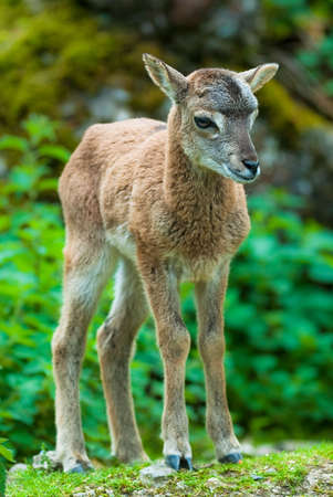 nippon: youg sika deer fawn (lat. Cervus nippon) standing in the woods.