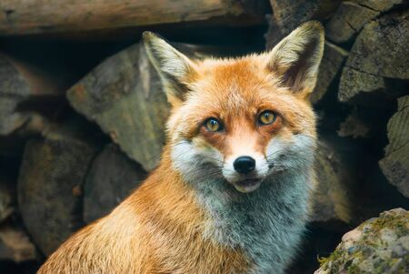 animal fox: red fox (lat. vulpes vulpes) in front of a pile of wood in the forest Stock Photo