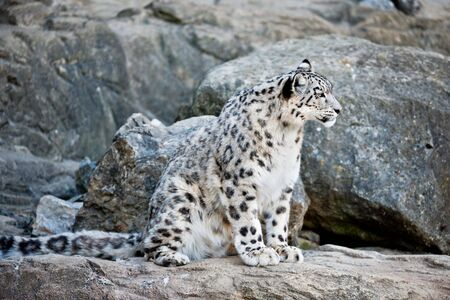 snow leopard: snow leopard (lat. Panthera uncia) sitting between rocks