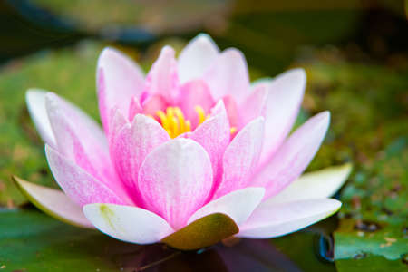 blossoming pink water lilly flower Stock Photo - 4968120