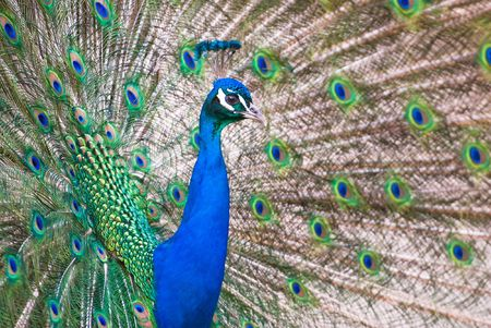 plumage: male Indian Peafowls (lat. Pavo cristatus) plumage Stock Photo