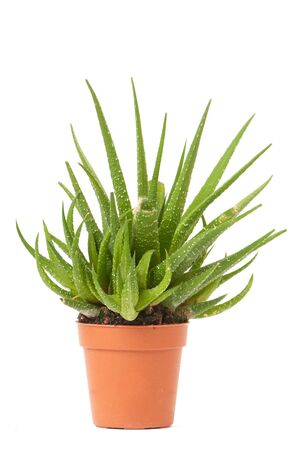 aloe stem: little cactus in small pot isolated on white background