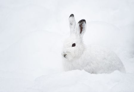 Mountain Hare (lat. Lepus timidus) with white fur sitting in snow in winter Standard-Bild