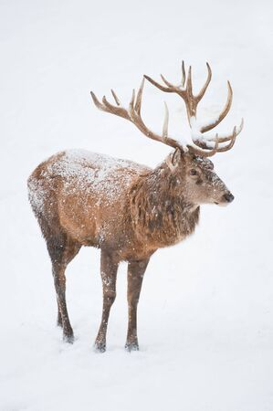 Male Red Deer (lat. Cervus elaphus) with large horns standing in the snow in winter