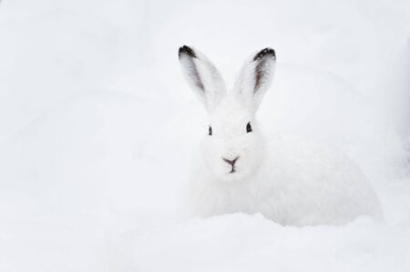 adaptation: Mountain Hare (lat. Lepus timidus) with white fur sitting in snow in winter Stock Photo