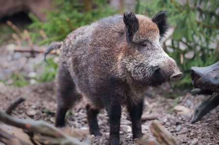Wild boar (lat. Sus scrofa) standing in the woods Stock Photo