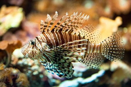 pterois volitans: red lionfish (lat. Pterois volitans), focus is on the eye