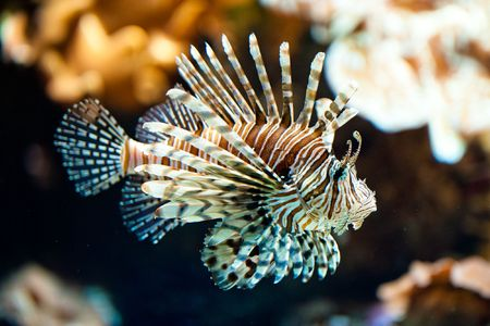 pterois volitans: red lionfish (lat. Pterois volitans) Stock Photo