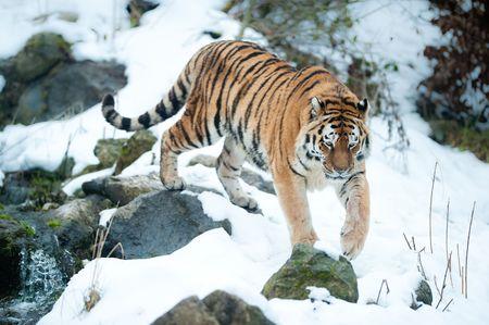 Amur Tygrys (lat. Panthera tigris altaica) Zdjęcie Seryjne