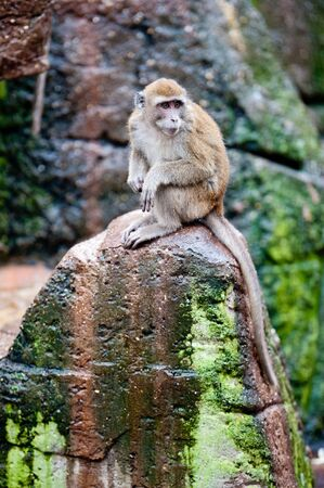 Crab-eating Macaque monkey (lat. Macaca fascicularis) photo