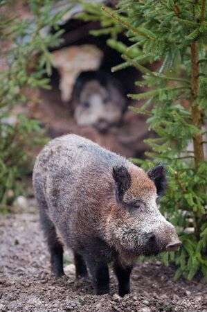 scrofa: Wild boar (lat. Sus scrofa) standing in the woods Stock Photo