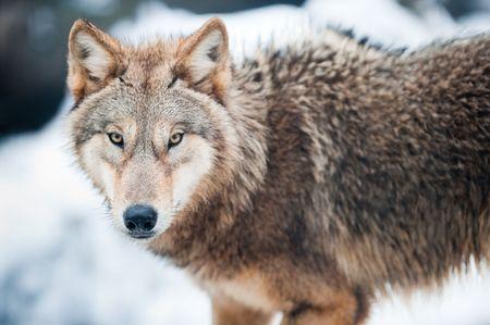 animales del bosque: Lobo (lat. Canis lupus) de pie en la nieve, el foco está en los ojos