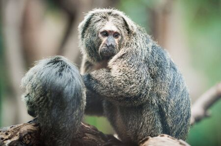 saki: White-faced saki (lat. Pithecia pithecia pithecia) Stock Photo