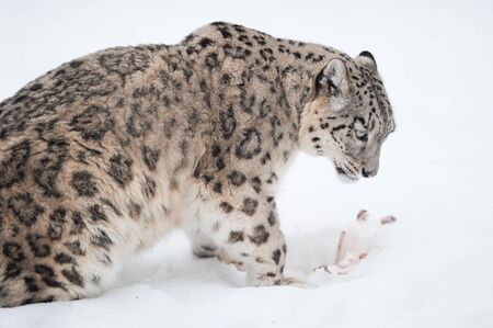 Snow leopard (lat. Uncia uncia) with his prey in the snow photo