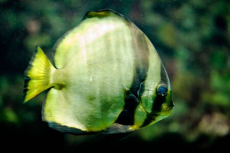 platax: Orbicular Batfish (lat. Platax orbicularis)