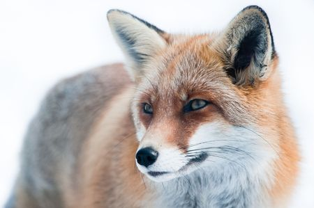 animal fox: red fox (lat. vulpes vulpes) in winter. Focus is on the eye.