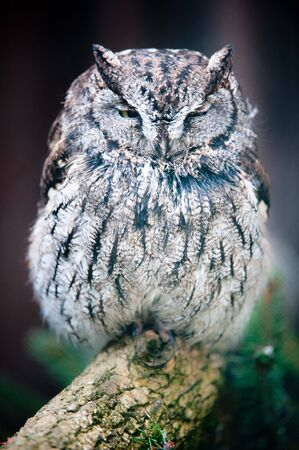 Western Screech Owl (lat. otus kennicotti) captive, sitting on a branch photo