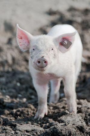 młody happy baby wieprzowych w uszach na farmie uśmiecha się ku aparatu