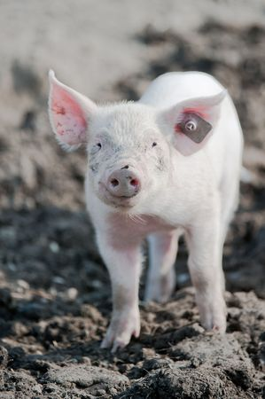 barn barnyard: young happy baby pig with ear tag on a farm smiling towards the camera