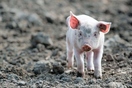 young happy baby pig with ear tag walking towards the camera