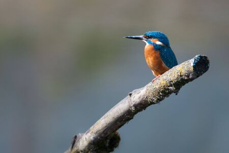 alcedo: Eurasian Kingfisher (lat. Alcedo atthis), sitting on a branch in a little lake. Stock Photo