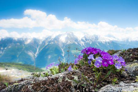 Pink alpine flowers in spring on a rock with mountain panorama in the background. Fiescheralp, Wallis, Switzerland photo