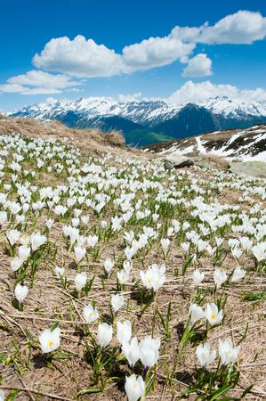 wallis: Blossoming flowers on an alpine meadow with mountains in the background at Fiescheralp, Wallis Switzerland