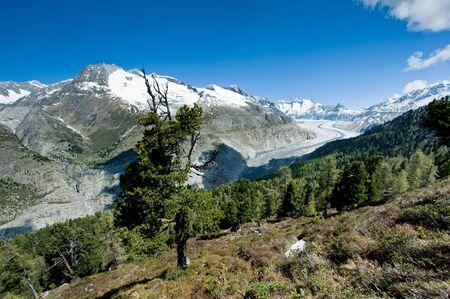 aletsch: Panorama of Aletsch glacier from Aletschwald, Wallis, Switzerland