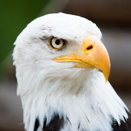 ojos marrones: Retrato de un águila calva (lat. haliaeetus leucocephalus)