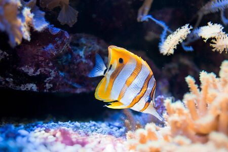 fishtank: Copperband Butterflyfish (lat. Chelmon rostratus) swimming in a fishtank Stock Photo