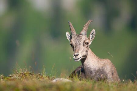 capra: Alpine Ibex (lat. Capra ibex) in swiss alps.