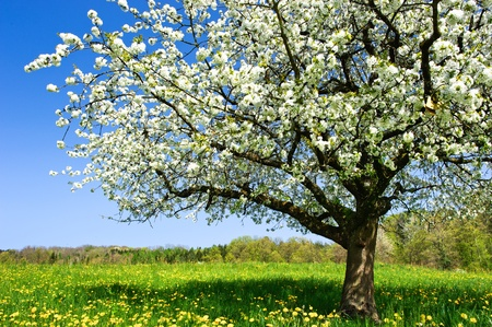 Blossoming tree in spring on rural meadow