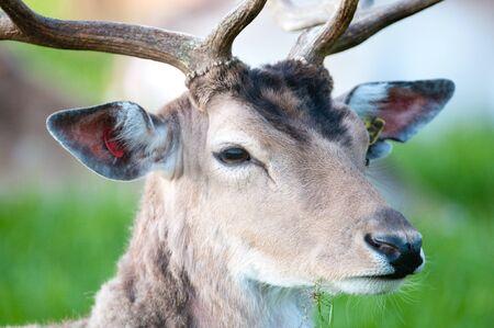 fallow deer: young captive male Fallow Deer sitting on a green meadow