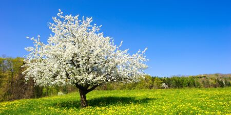 Single blossoming tree in spring on rural meadow photo