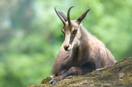 chamois (lat. rupicapra rupicapra) sitting on a rock