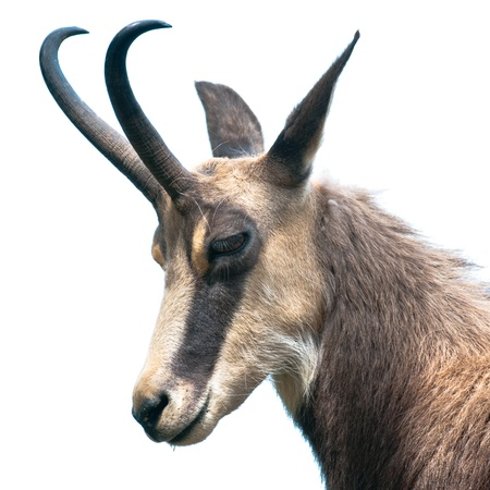 tête de chamois (lat. rupicapra rupicapra) isolé sur fond blanc Banque d'images
