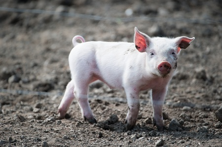 young pig: Cute happy baby pig with ear tag
