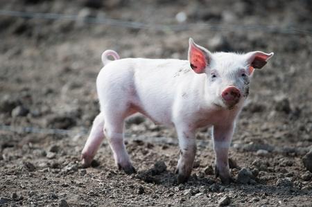 farmyard: Cute happy baby pig with ear tag